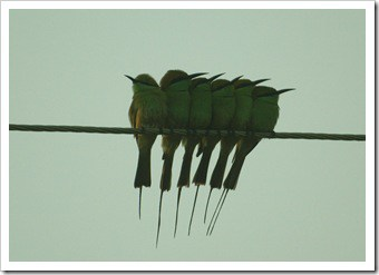 Green bee-eaters